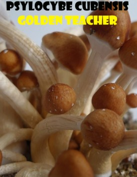 Psilocybe Cubensis Golden Teacher