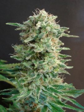Big Dutch Bud Fem