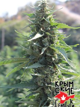 White Krim Widow