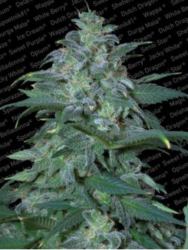 Magic Bud Fem