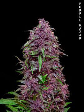 Purple Mazar Auto