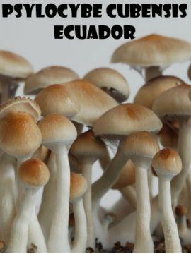 Psilocybe Cubensis Ecuador